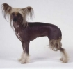 Cateii jucarie - Chinese Crested